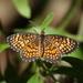 Mariposa Parche Ajedrez con Borde Naranja - Photo (c) Jay L. Keller, todos los derechos reservados