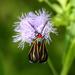 Ctenucha venosa - Photo (c) Jay L. Keller, כל הזכויות שמורות