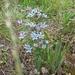 Oxypetalum caeruleum - Photo (c) Graham Simpson, todos los derechos reservados