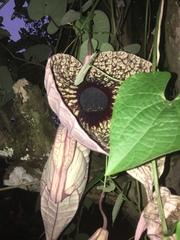 Aristolochia grandiflora image