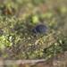 Sminthurinus niger - Photo (c) Will George, kaikki oikeudet pidätetään