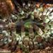 Cribrinopsis crassa - Photo (c) Tim Cameron, kaikki oikeudet pidätetään