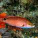 Symphodus mediterraneus - Photo (c) Tim Cameron, todos los derechos reservados