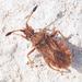 Strobilotoma typhaecornis - Photo (c) Valter Jacinto, all rights reserved