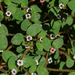 Euphorbia arizonica - Photo (c) Chris McCreedy, todos los derechos reservados