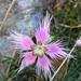 Dianthus hyssopifolius - Photo (c) Pierre Gauthier, όλα τα δικαιώματα διατηρούνται