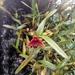 Maxillariella procurrens - Photo (c) Juan Sebastian Martinez Moreno, todos los derechos reservados