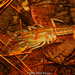 Cambarid Crayfishes - Photo (c) Brad Moon, all rights reserved