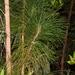Slash Pine - Photo (c) Jay Keller, all rights reserved, uploaded by Jay L. Keller