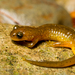 Torrent Salamanders - Photo (c) J.P. Lawrence, all rights reserved