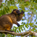 Tree-Kangaroos - Photo (c) J.P. Lawrence, all rights reserved