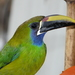 Northern Emerald-Toucanet - Photo (c) Dan Riley, all rights reserved
