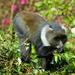 Kolb's Monkey - Photo (c) dejong, all rights reserved, uploaded by Yvonne A. de Jong