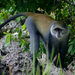 White-throated Guenon - Photo (c) dejong, all rights reserved, uploaded by Yvonne A. de Jong