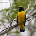 Scrub Euphonia - Photo (c) Rolando Chavez_tutor, all rights reserved