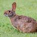 Conejos de Cola Blanca - Photo (c) Brad Moon, todos los derechos reservados