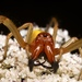 European Yellow Sac Spider - Photo (c) nonomay, some rights reserved (CC BY-NC-ND)