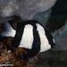 Dascyllus aruanus - Photo (c) Tim Cameron, todos los derechos reservados