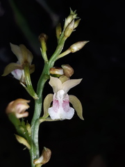 Orquídea Monja Africana - Photo (c) guadalupe_cornejo_tenorio, todos los derechos reservados