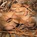 Agkistrodon contortrix - Photo (c) Brad Moon, כל הזכויות שמורות