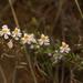 Schizanthus tricolor - Photo (c) Patrich Cerpa, todos los derechos reservados
