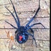 Western Black Widow - Photo (c) ivanvershynin03, all rights reserved