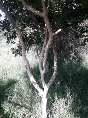 Myrcianthes rhopaloides image