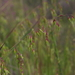 Long-flowered Veldt Grass - Photo (c) microm, all rights reserved, uploaded by Michele Roman