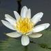 Lotus Blanco - Photo (c) Rogério Ferreira, todos los derechos reservados