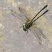Sinogomphus formosanus - Photo (c) Sin Syue Li, todos los derechos reservados