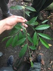 Brosimum costaricanum image