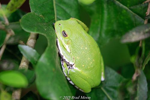 Barking Tree Frog (Hyla gratiosa) · iNaturalist org