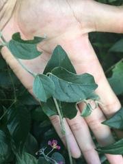 Banisteriopsis muricata image