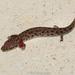 Necturus beyeri - Photo (c) Brad Moon, todos los derechos reservados
