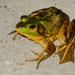 Pig Frog - Photo (c) Brad Moon, all rights reserved
