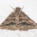 Rindgea s-signata - Photo (c) Timothy Reichard, todos los derechos reservados