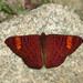 Mariposas Topacio - Photo (c) Indiana Cristo, todos los derechos reservados