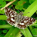 Indian Grizzled Skipper - Photo (c) Rajib Maulick, all rights reserved