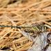 Phanogomphus oklahomensis - Photo (c) Brad Moon, todos los derechos reservados