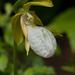 Cypripedium acaule albiflorum - Photo (c) Tig, kaikki oikeudet pidätetään