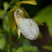 White-flowered Pink Lady's-Slipper - Photo (c) Tig, all rights reserved