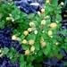 Brickellia veronicifolia - Photo (c) Lex García, kaikki oikeudet pidätetään