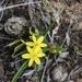 Tricoryne humilis - Photo (c) annbentley, todos los derechos reservados