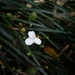 Libertia ixioides - Photo (c) Adva Ayita, todos los derechos reservados