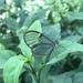 Episcada carcinia - Photo (c) Maristela Zamoner, all rights reserved