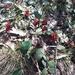 Laurel-leaf Grevillea - Photo (c) Kerrie Bigland, all rights reserved