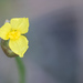 Tall Yelloweyed Grass - Photo (c) Scott Simmons, all rights reserved
