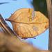 Zaretis strigosus - Photo (c) anapcaron, todos los derechos reservados