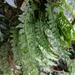 Vandenboschia auriculata - Photo (c) Yi Lin Lee, all rights reserved