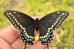 Black Swallowtail - Photo (c) Juan Carlos Garcia Morales, all rights reserved